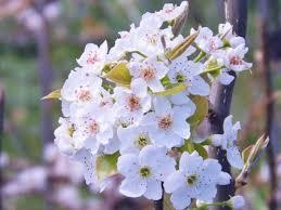 真っ白な梨の花